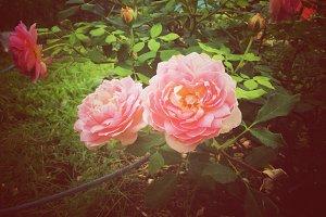 Pink rose in retro filter effect