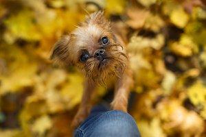 Brussels Griffon puppy for a walk
