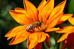 Most bee collects nectar on flower a