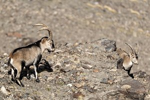 Goats standing on rock