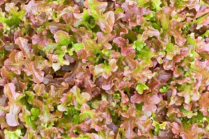 Texture of red lettuce