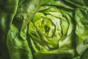 Green leaves of Butterhead lettuce