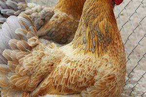 color live chicken