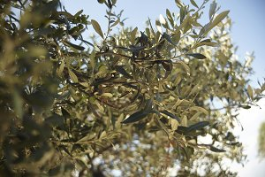 The plant of the olive tree