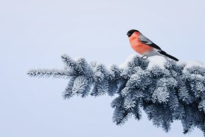 bird bullfinch on a winter tree