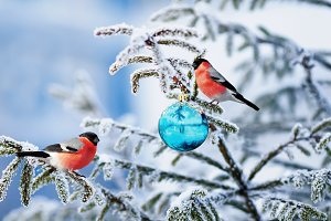two bullfinch on christmas tree