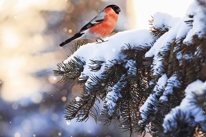 bird bullfinch on christmas tree