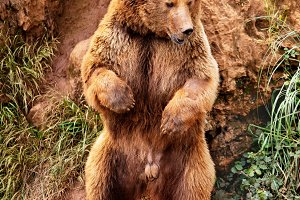 Bear (vertical)