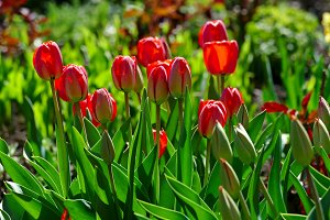 Bright spring tulips on a flower bed