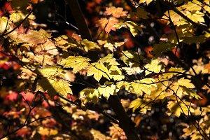 Backlit Vine Maples