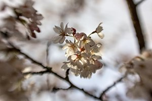 Cherry Blossoms and Raindrops