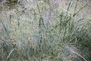 Grasses in the Rain