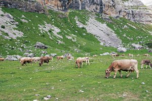 Meadow among mountains with cows gra