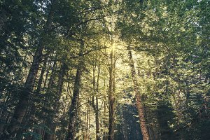 Forest with very tall trees and sunl