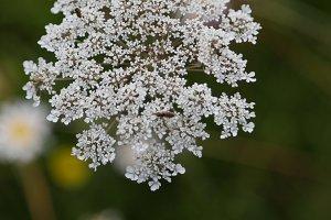 A flowering seed head in a field