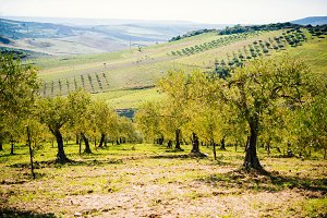 Olives in Sicily
