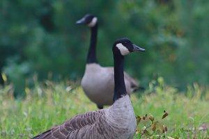 Norwegian goose 1
