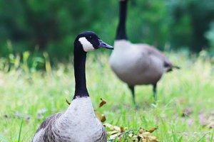 Norwegian goose 2