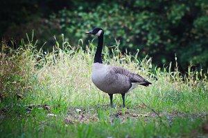 Norwegian goose 4