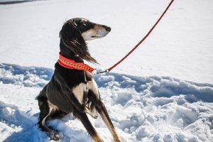 Saluki, Persian greyhound breed in