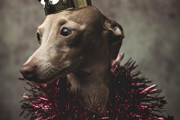 Animal Stock Photos - Dog dressed for Christmas. Gifts
