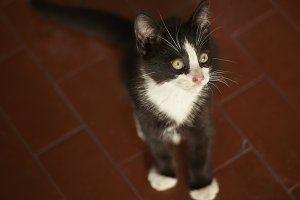 Small black and white spotted kitten