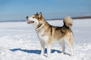 Alaskan Malamute dog breed posing in