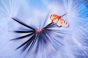 butterfly in dandelion flowers