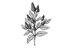 Mentha plant engraving vector