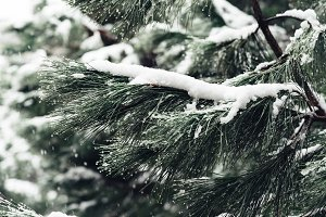 Snow background with branches of