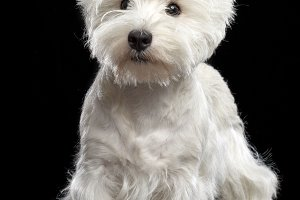 West highland white terrier Dog