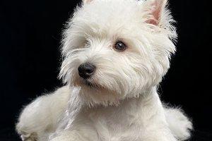 West highland white terrier Dog