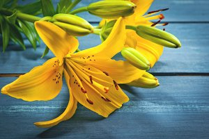 Beautiful lilies on blue wooden back