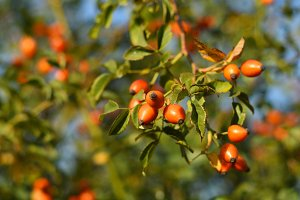 Branches of rosehip in autumn