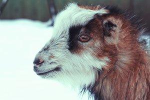 Goat portrait in farm