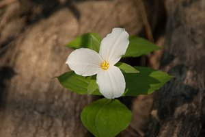 White Trillium Blooming
