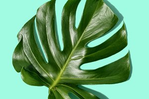 One tropical leaves Monstera