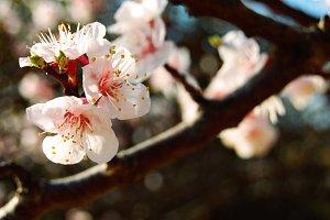 Apricot blossoms I