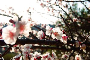 Apricot blossoms II