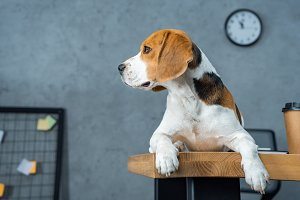 beagle sitting on table with disposa