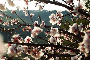 Apricot blossoms III