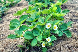 strawberry bush with spring flowers