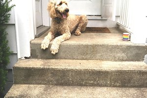 Doodle Dog on the Porch