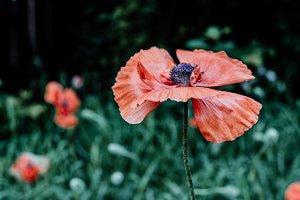 Poppy in Garden