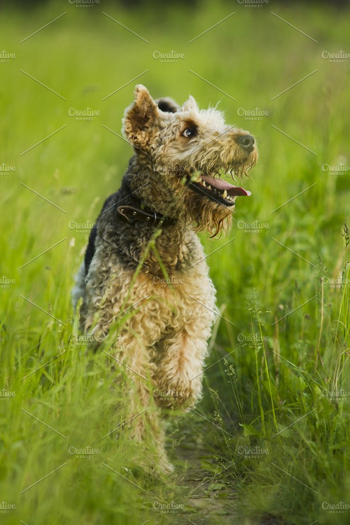 Dog.Airedale. - Animals