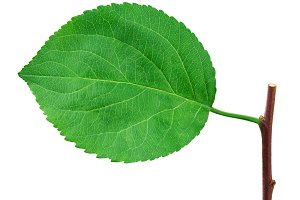 Apple leaf isolated on white