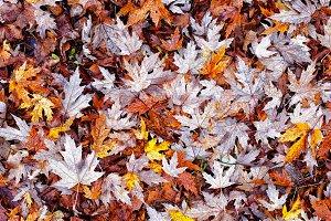 Background of blackened autumn leave