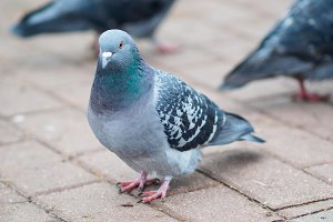 Closeup view of rock dove in city