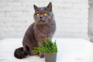 British Shorthair cat He eats useful