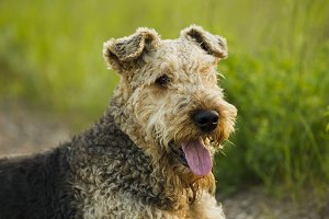 Dog.Airedale.